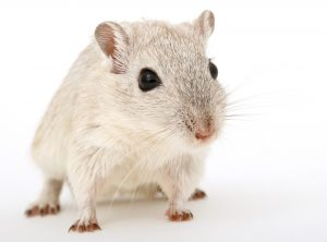 Rodent Removal Tulsa